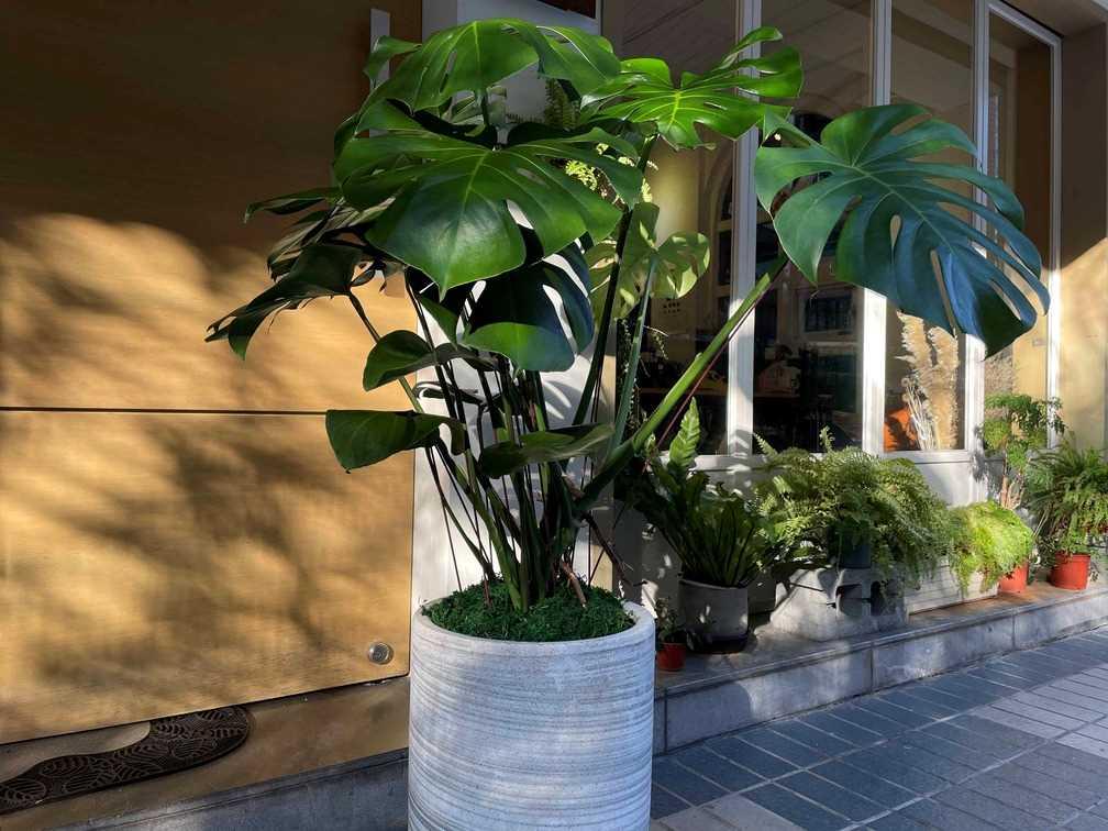 大型植物盆栽-$500/DAY